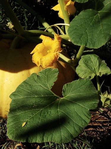 Male Pumpkin Flowers
